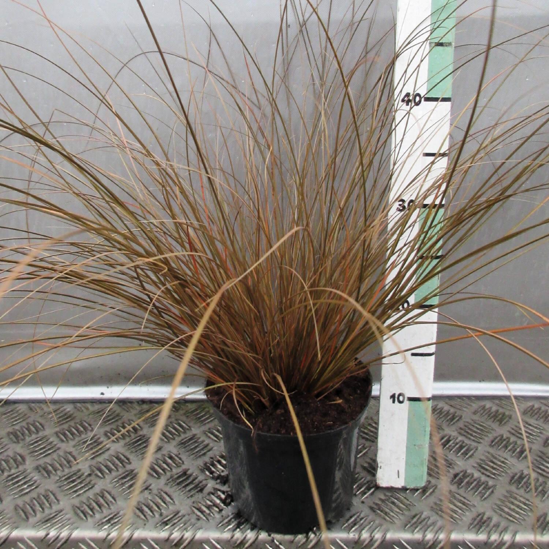 Neuseeländische Segge für vertikale Gärten