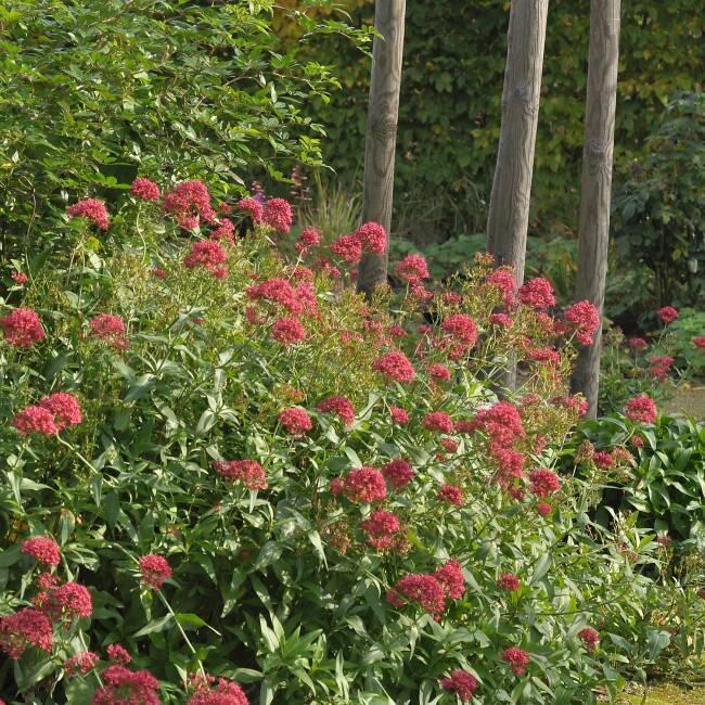 "Centranthus ruber /""Coccineus/"" Spornblume"